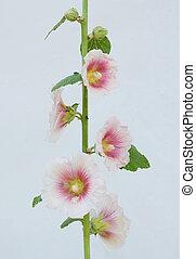 Symbolic ukrainian flower Malva. Symbol of love to neighborhood