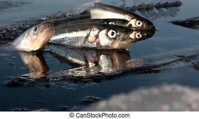 Symbolic video in dirty water choking fish 2. winter kill -...