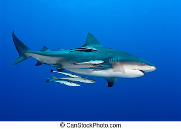 Symbotic - The view of a bull shark and fish swimming along,...
