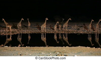 Giraffes and hyena in waterhole - Symmetric Group of...