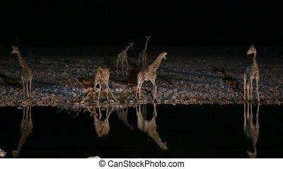 Giraffes and hyena in waterhole