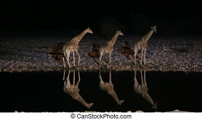 Giraffes in waterhole