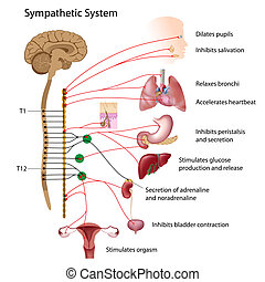 Sympathetic pathway of the ANS - Sympathetic pathways of the...