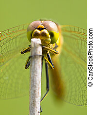 Vagrant Darter Dragonfly (Sympetrum vulgatum) resting on a Twing with Bright Green Background