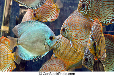Symphysodon discus fish in an aquarium