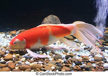 Symphysodon discus in an aquarium