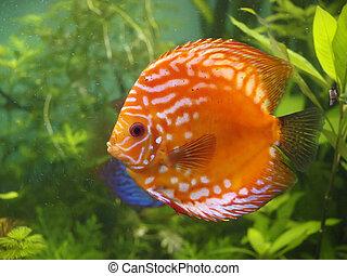 Symphysodon discus - Brigt, orange Symphysodon discus in the...