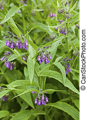 Symphytum officinale - Flowers and blossoms of common ...