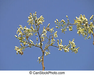 syn., f, pterygosperma, moringacea, m., árbol, moringa, pata de pollo, flores, oleifera