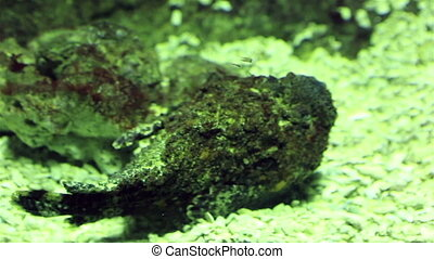 Synanceia verrucosa is a fish species known as the reef...