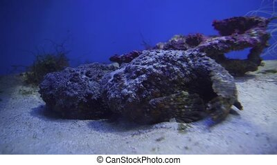 Synanceia verrucosa is fish species known as the stonefish...