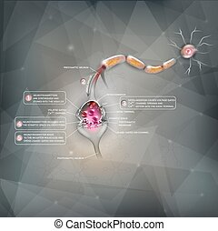 Synapse detailed anatomy