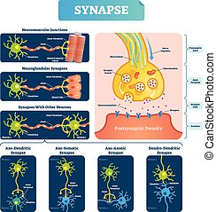 Synapse vector illustration. Labeled diagram with...