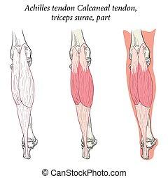 synhåll, calcaneal, sena, surae, triceps, medicinsk, fot, ...