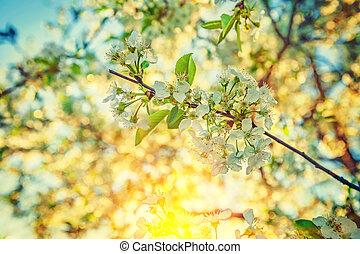 synhåll, på, filial, av, körsbär träd, med, blomstrande, blomningen, in, morgon