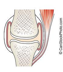 synovial, articolazione