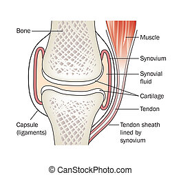 Synovial joint - labeled