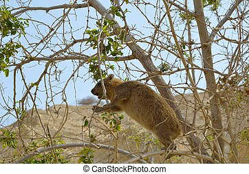 Syrian rock hyrax (Procavia capensis) medium-sized terrestrial mammal, found across Africa and the Middle East.