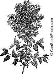 Syringa vulgaris (lilac or common lilac) vintage engraving...