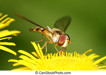 syrphidae insects - a kind of insects named syrphidae