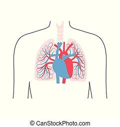 système, anatomie, circulatoire