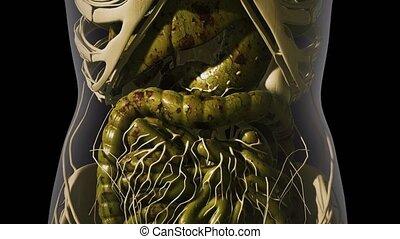 système, anatomie, détaillé, digestif, humain