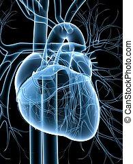 système, cardio-vasculaire