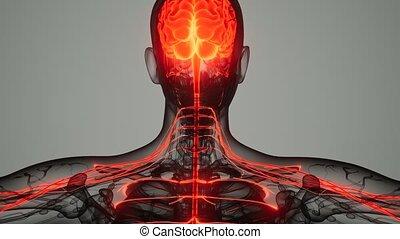 système, cerveau humain, nerveux