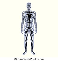 système, circulatoire, anatomie