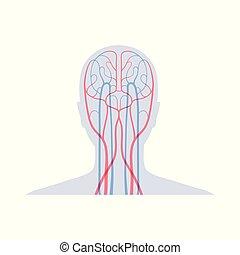 système circulatoire, anatomie