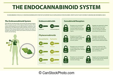 système, endocannabinoid, horizontal, infographic