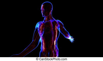 système, musculaire