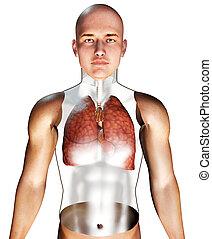 système respiratoire, humain, 3d