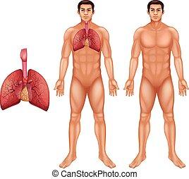 système respiratoire, humain