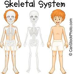 système squelettique, humain, garçon