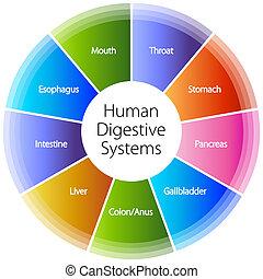 systèmes digestifs, humain