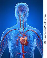 systém, cévní