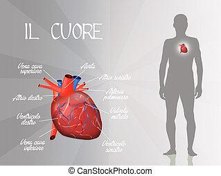systém, cardiovascular