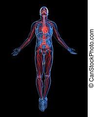 systeem, aangepunt, vascular
