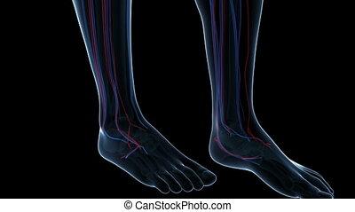 systeem, menselijk, vascular