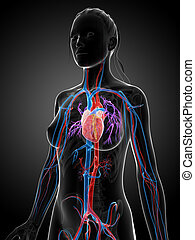 systeem, vrouwlijk, vascular