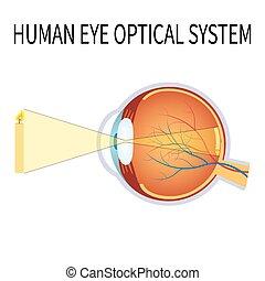 system., 光学, 目, 人間, イラスト