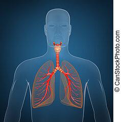 system., konzervativní, respirační