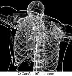 system, medizinisches konzept, übertragung, 3d, menschliches herz, zirkulierend, koerperbau