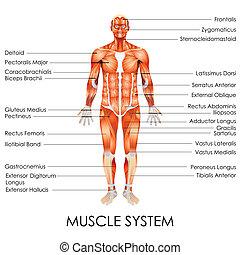 system, muskuløse