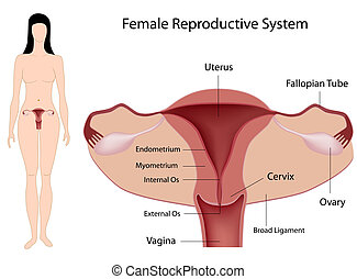 system, reproducerande, eps8, kvinnlig