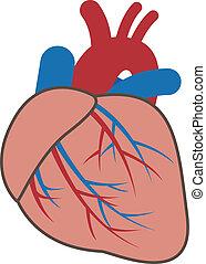 system, sercowonaczyniowy