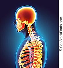 system., skelett, menschliche