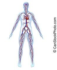 system, vaskulär
