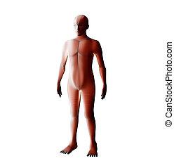 system., wireframe, イラスト, 解剖学, 筋肉, 人間, hologram., マレ, 赤, 3d